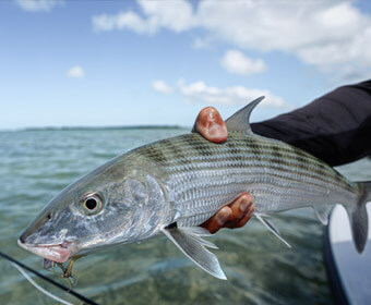 An image of a bonefish caught in the Florida Keys with Outgoing Angling.