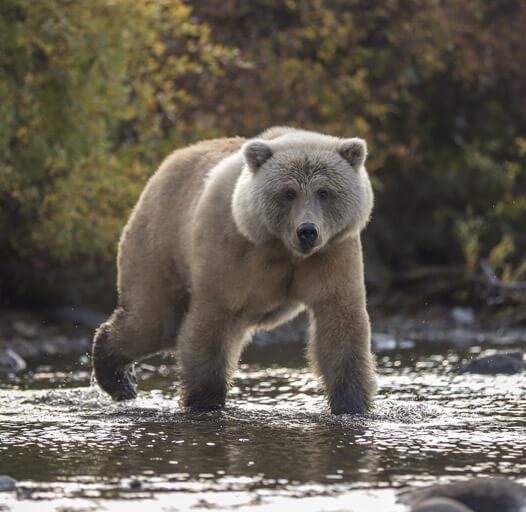 An image of a large bear photographed on an Alaska river fishing trip.