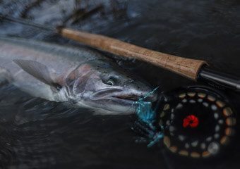An image of a big steelhead caught in Alaska on an Outgoing Angling adventure.