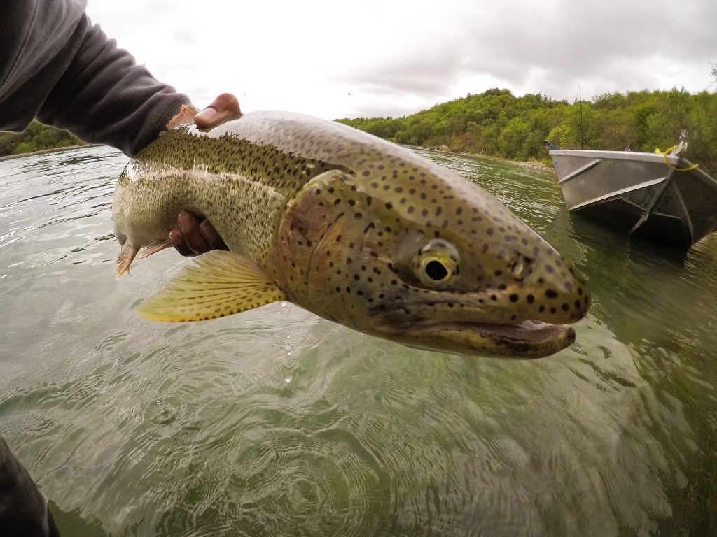 alaska trout