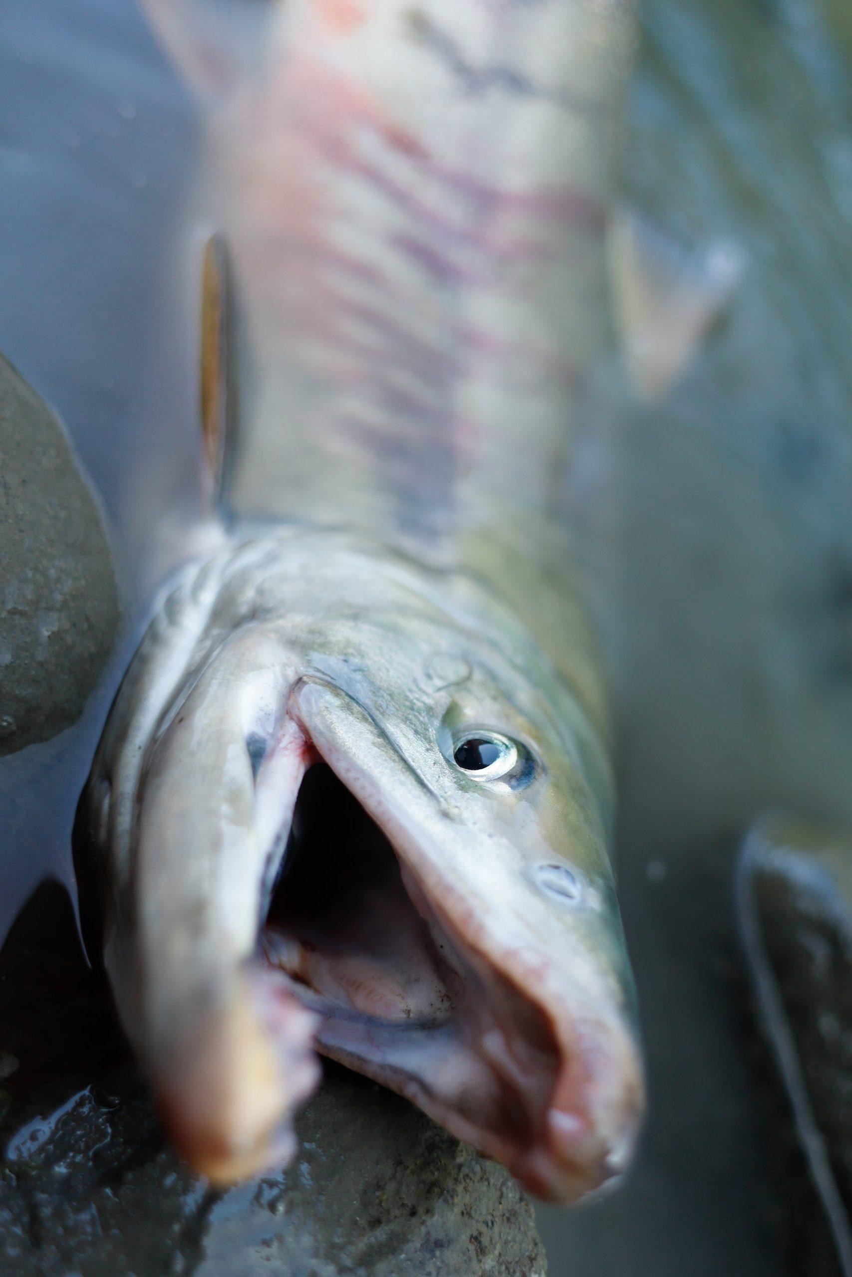 AK chum salmon